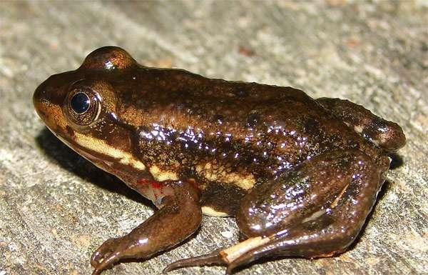 Лягушка-плотник (Rana virgatipes), фото амфибии фотография картинка
