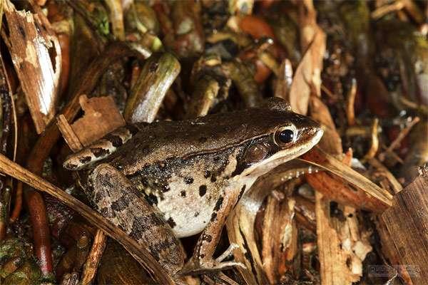 Мелодичная лягушка (Babina adenopleura), фото амфибии фотография картинка