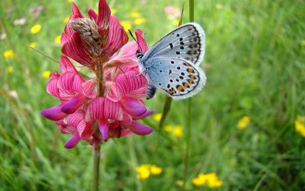 Бабочка голубянка на цветке, фото новости о насекомых фотография картинка