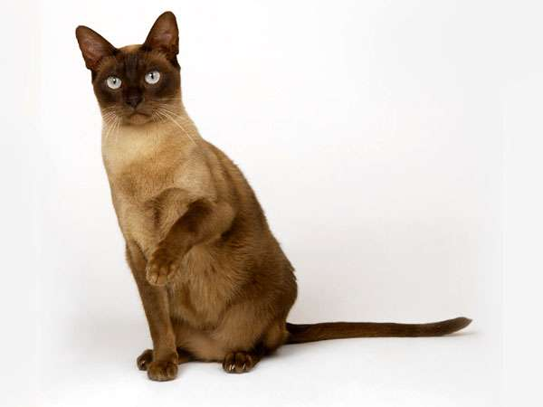 Бурманская кошка, бурма, фото породы кошек фотография картинка