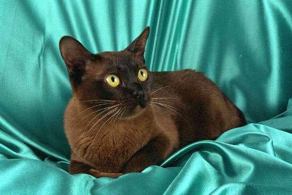 Бурманская кошка, бурма, фото породы кошек фотография