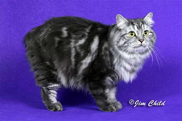 Мэнкс, Мэнская бесхвостая кошка, фото породы кошек фотография