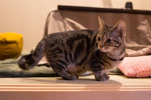 Манчкин, кошка-такса, фото породы кошек фотография картинка
