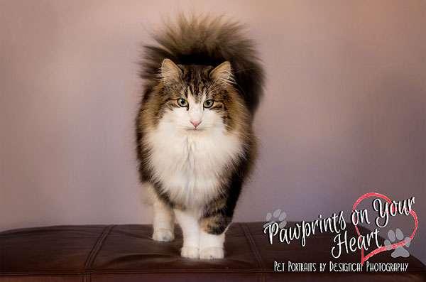 Норвежская лесная кошка, фото породы кошек котов фотография картинка