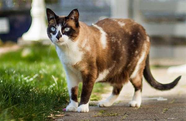 Сноу шу, фото породы кошек фотография картинка