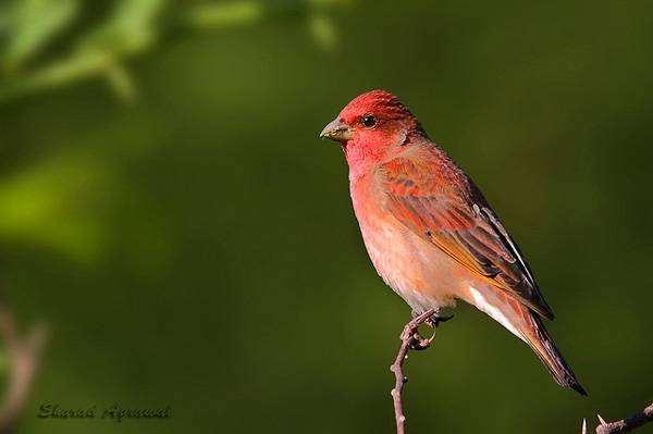 фото птица чечевица