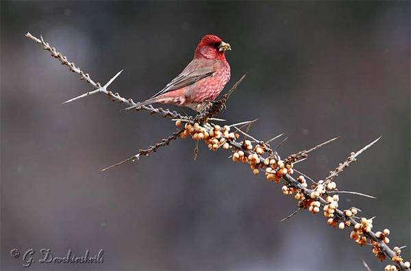 Большая чечевица (Carpodacus rubicilla), фото птицы фотография