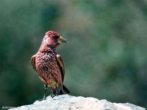 Большая чечевица (Carpodacus rubicilla), фото картинка фотография птицы