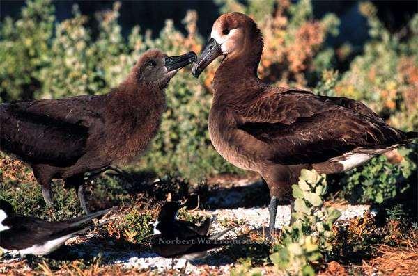 Черноногий альбатрос (Diomedea nigripes), картинка птицы изображение