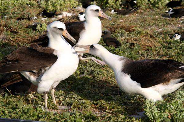 Темноспинный альбатрос (Diomedea immutabilis), фото трубконосые птицы фотография