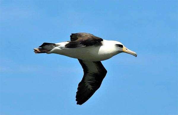 Темноспинный альбатрос (Diomedea immutabilis), фото птицы фотография