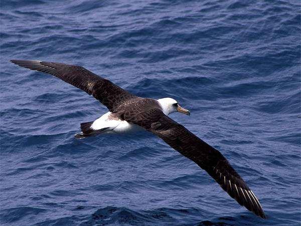 Темноспинный альбатрос (Diomedea immutabilis), картинка птицы изображение