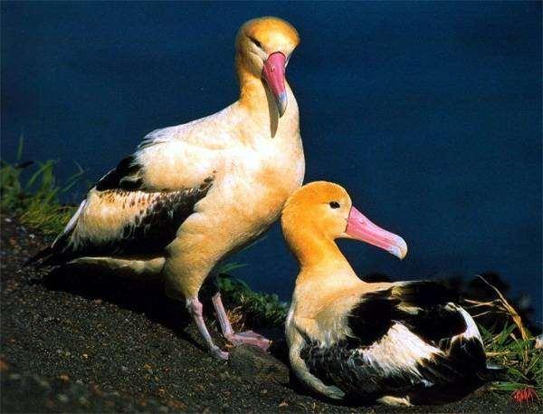 Белоспинный альбатрос (Diomedea albatrus), фото птицы фотография