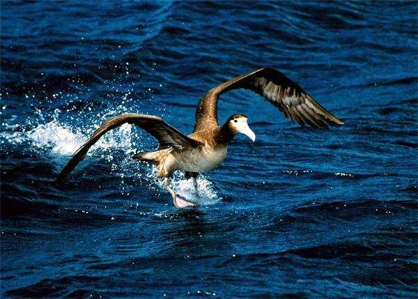 Белоспинный альбатрос (Diomedea albatrus), фото трубконосые птицы фотография