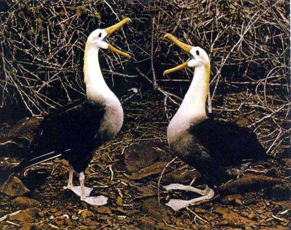Белоспинный альбатрос (Diomedea albatrus), картинка птицы изображение