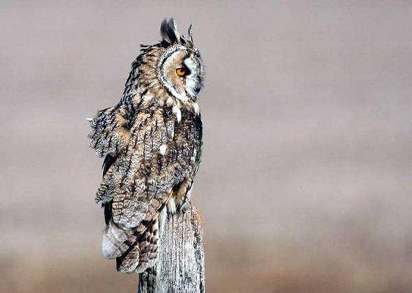Ушастая сова (Asio otus), изображение птицы