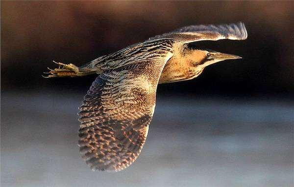 Большая выпь (Botaurus stellaris), картинка птицы фото