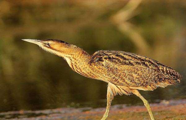 Большая выпь (Botaurus stellaris), изображение фотография птицы