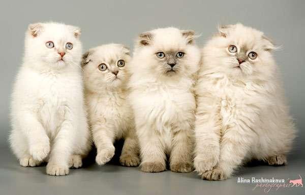 Котята скоттиш-фолда и хайленд-фолда, фото породы кошек фотография