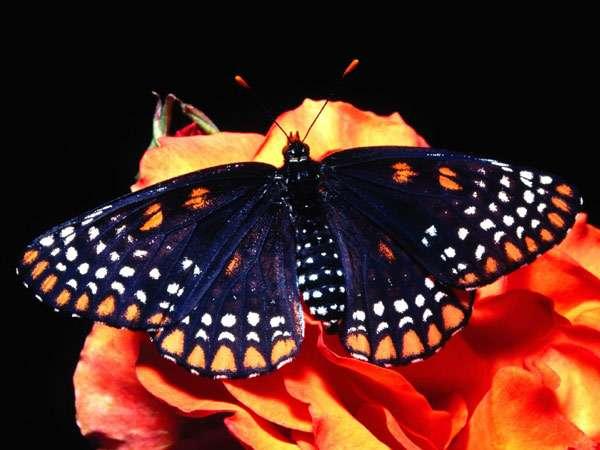 Бабочка на цветке, фото насекомые фотография картинка