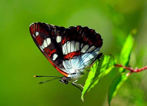 Бабочка, фото насекомые членистоногие фотография картинка