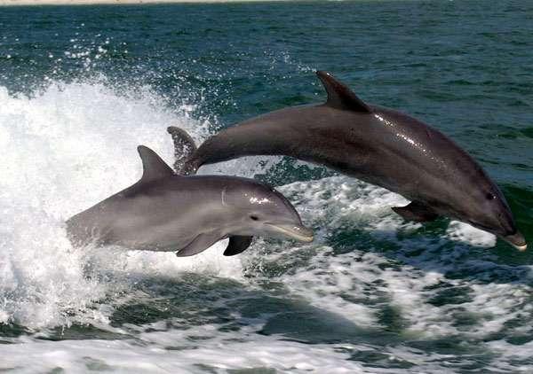 Дельфины, плывущие рядом с кораблем, фото морские млекопитающие фотография картинка