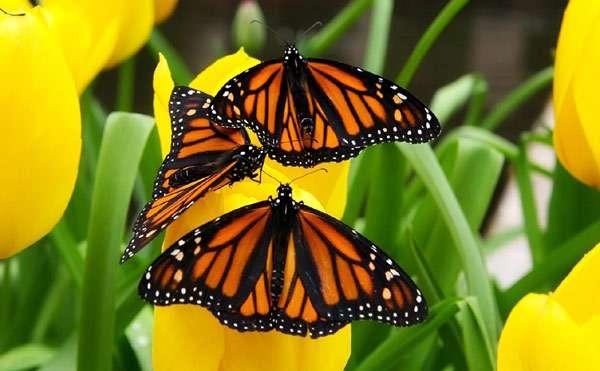 Бабочки монархи, фото насекомые фотография картинка