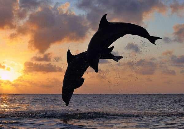 Дельфины, выпрыгивающие из воды, фото морские млекопитающие киты фотография