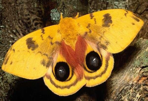 Желтая ночная бабочка, фото насекомые фотография картинка