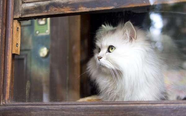 Персидская кошка, фото породы кошек фотография