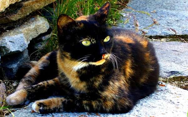 Кошка черепахового окраса, трехцветная кошка, фото генетика кошек фотография