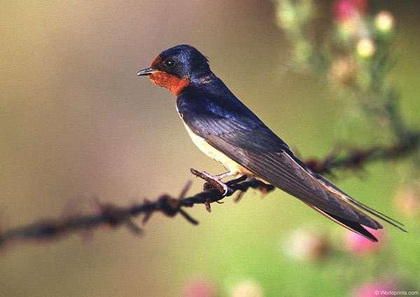 Деревенская ласточка, или ласточка-касатка (Hirundo rustica), фото птицы фотография картинка