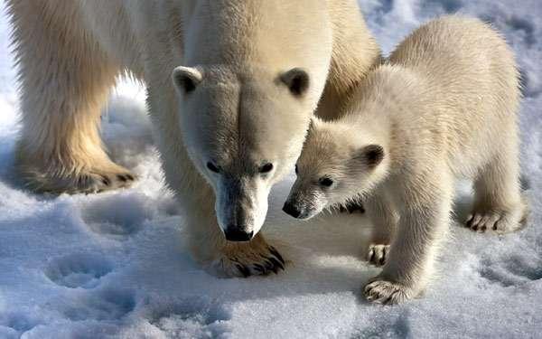 Полярные медведи (Ursus maritimus), фото хищники фотография картинка