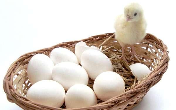Цыпленок и куриные яйца, фото птицы фотография картинка