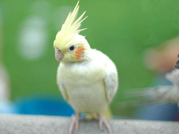 Корелла, попугая карелла, фото птицы фотография картинка
