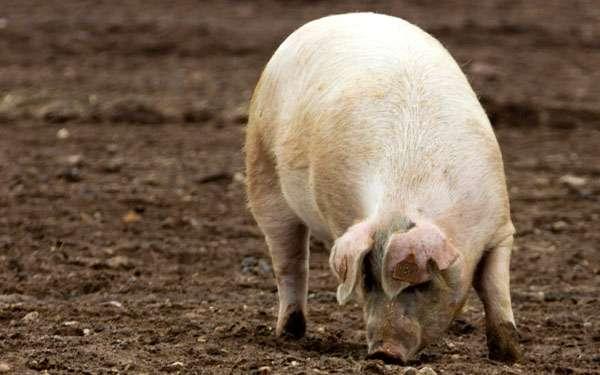 Домашняя свинья, фото животные фотография картинка