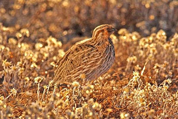 Перепелка, фото куриные птицы фотография картинка