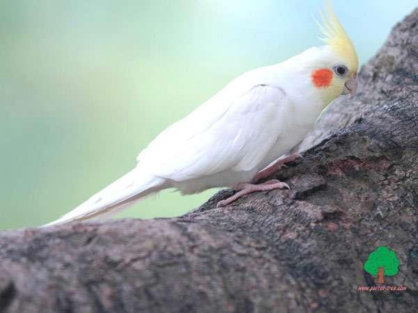 Попугай корелла корела, фото птицы фотография картинка