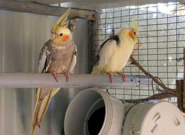 Кареллы, фото попугаи птицы фотография картинка