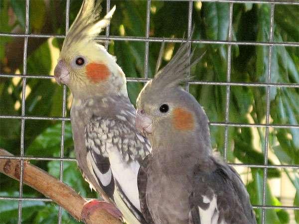 Кореллы, кареллы, фото попугаи фотография картинка