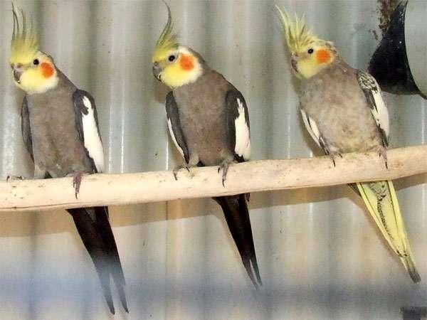 Попугаи корелла, фото птицы фотография картинка