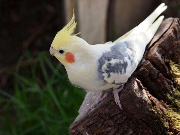 Корелла, карелла, фото попугаи фотография картинка