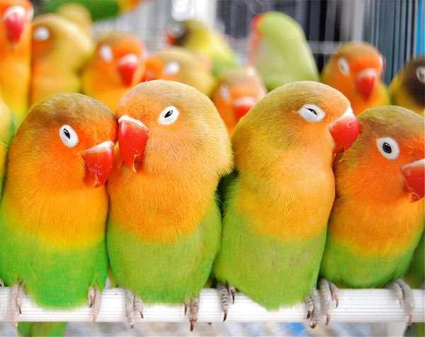 Неразлучники Фишера (Agapornis fischeri), фото попугаи фотография картинка