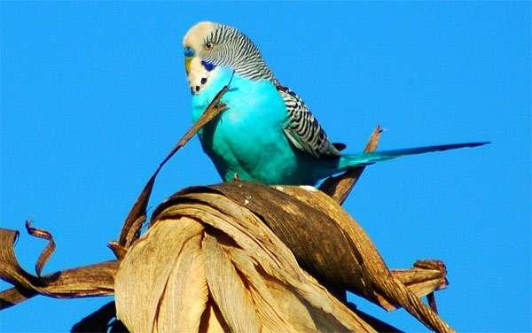 Волнистый попугайчик на фоне голубого неба, фото птицы фотография картинка