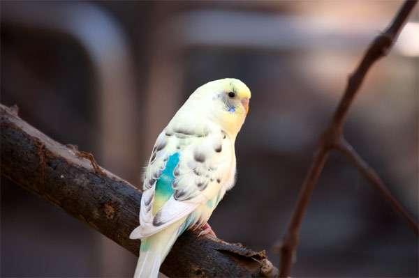 Волнистый попугай, фото птицы фотография картинка