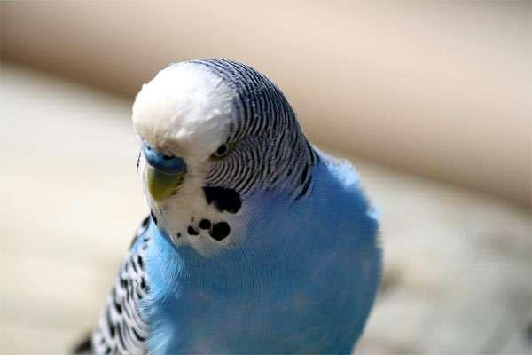 Голубой волнистый попугайчик, фото птицы фотография картинка