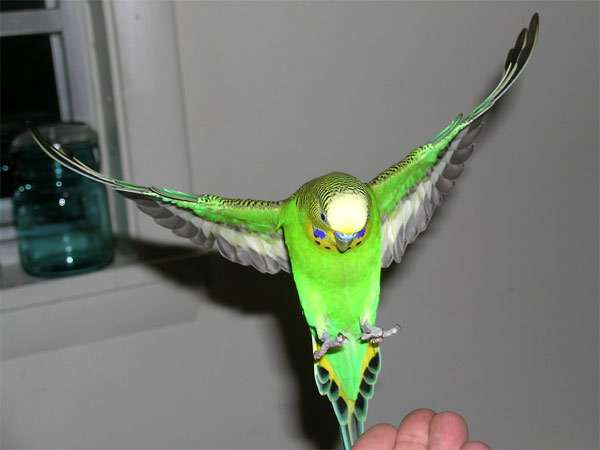 Летящий волнистый попугайчик, волнистик, фото птицы фотография
