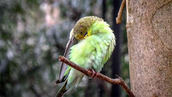 Волнистый попугай, фото попугайчики фотография картинка