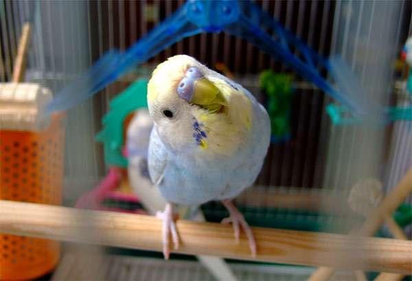 Любопытный волнистый попугай, фото птицы фотография