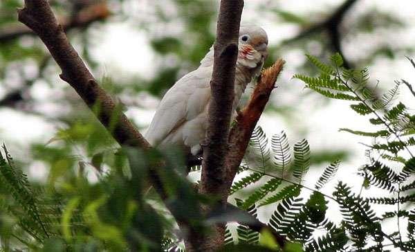 Какаду Гоффина (Cacatua goffini), фото попугаи птицы фотография картинка